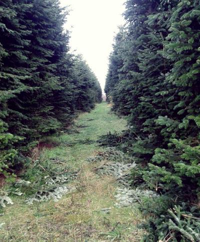 dove-andare-a-scegliere-un-albero-di-natale-vero-vivaio
